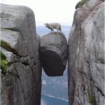 Sheep in trouble