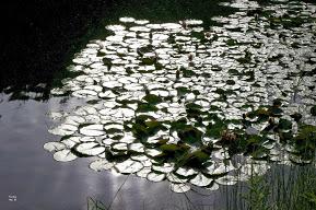 Lotus leaves on water_ IMG_0134