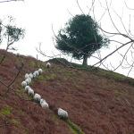 sheep-on-path